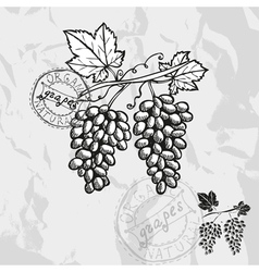 Hand drawn decorative grapes vector image