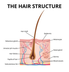 the structure of the hair vector image