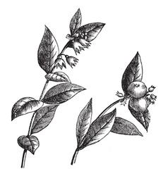 Vintage snowberry sketch vector image vector image
