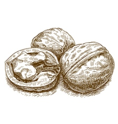 Engraving walnut vector
