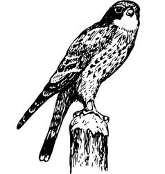 bird cerchneis tinnunculus vector image vector image