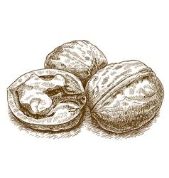 engraving walnut vector image vector image