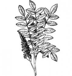 rhus staghorn sumac vector image