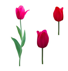 tulips isolated on white background close up vector image