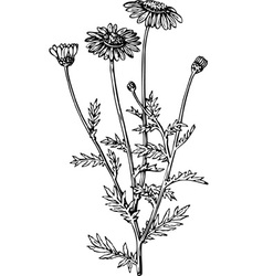 plant anthemis vector image vector image