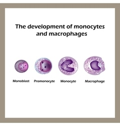 The development of monocytes and macrophages vector image vector image