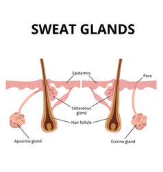 Sweat and sebaceous gland vector