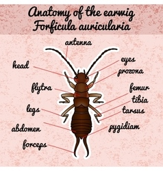 Insect anatomy sticker forficula auricularia vector