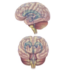 Brain diagram vector image