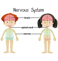 Nervous system of boy and girl vector