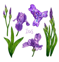 violet iris flower set vector image
