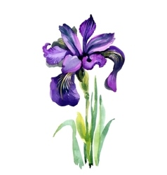 Watercolor garden iris flowers isolated on white vector