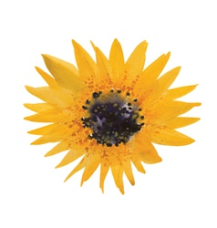 Yellow sunflower vector