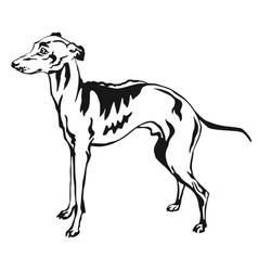decorative standing portrait of italian greyhound vector image vector image