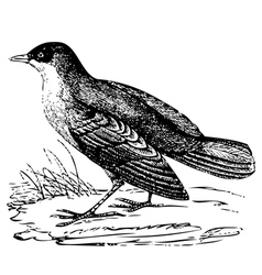 White throated dipper engraving vector