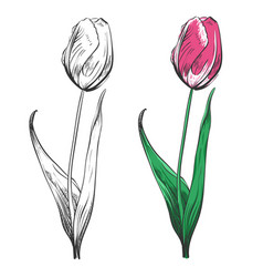 tulip silhouette and colorful isolated on white vector image vector image