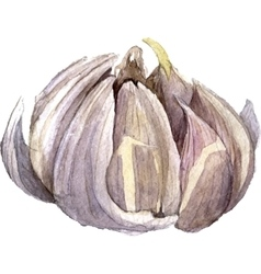 Watercolor drawing garlic vector