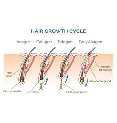 Hair growth cycle vector