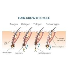 Hair growth cycle vector
