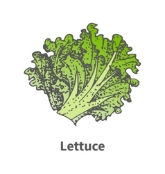 Sketch hand-drawn green lettuce vector