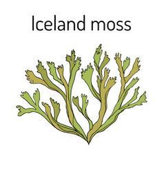 Iceland moss cetraria islandica medicinal plant vector