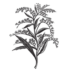 Canada goldenrod sketch vector