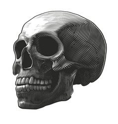 human skull in woodcut style vector image