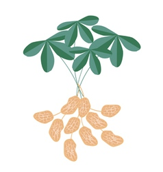 A peanuts plant on white background vector