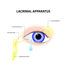 Lacrimal apparatus vector