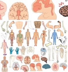 Anatomy vector