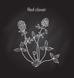 Red clover or trifolium pratense vector