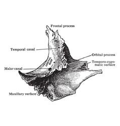 Inner aspect of malar bone vintage vector