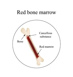 The structure of the bone marrow infographics vector