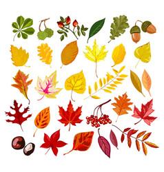 Autumn oak maple rowan leaf foliage fall vector