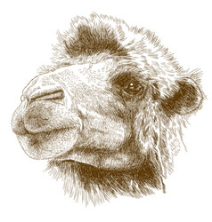 engraving drawing of camel head vector image
