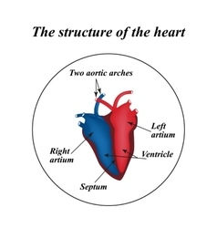 The structure of the heart infographics vector
