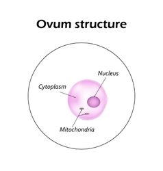 The structure of the ovum infographics vector