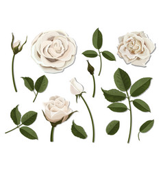 set of white rose flower parts vector image