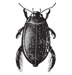 Great diving beetle vintage vector