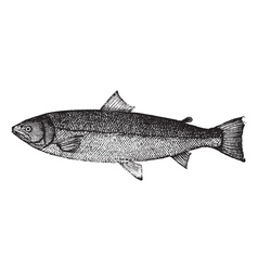 Atlantic salmon sketch vector