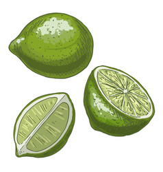 lime full color realistic sketch vector image