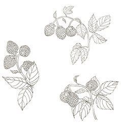 Raspberry contour drawing vector image
