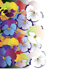 Colored pansy flowers on white background vector