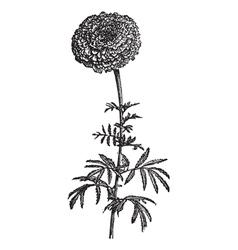 Vintage Mexican Marigold vector image vector image