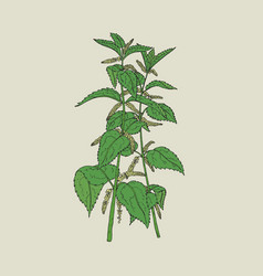 colorful detailed drawing of nettle with blooming vector image