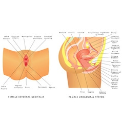 Female urogenital system vector image