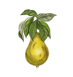 yellow pear with leaves full color sketch vector image