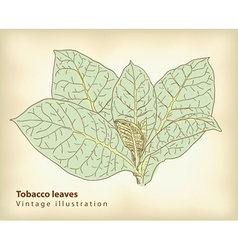 tobacco leaves vector image