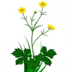buttercups florets vector image