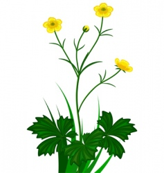 buttercups florets vector image vector image